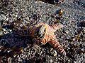 Starfishmussel.jpg