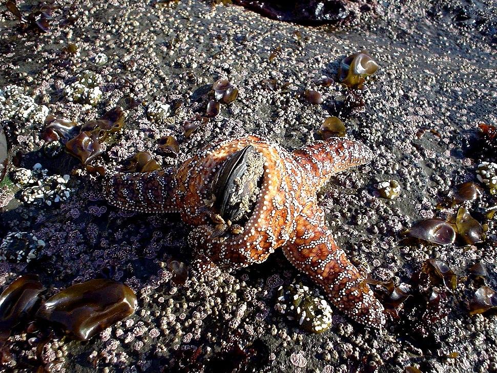 Starfishmussel