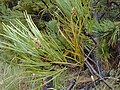Starr-010515-0123-Pinus pinaster-leaves-Hosmers Grove HNP-Maui (24450274541).jpg