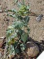 Starr-011104-0017-Chenopodium murale-habit-Kalepolepo-Maui (24460872581).jpg