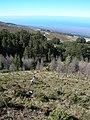Starr-041211-1419-Pinus patula-control-Puu Nianiau-Maui (24425622910).jpg