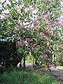 Starr-061109-1472-Bauhinia x blakeana-flowering habit-Kokomo Rd Haiku-Maui (24868748405).jpg
