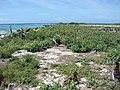 Starr-080605-6579-Sonchus oleraceus-habit with Laysan albatross-Eastern Island-Midway Atoll (24914177435).jpg