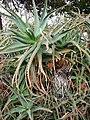 Starr-090430-6649-Aloe arborescens-strange growth-Kula-Maui (24835120992).jpg