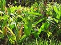 Starr-090617-0812-Heliconia psittacorum x spathocircinata-flowering habit-Ulumalu Haiku-Maui (24597146779).jpg