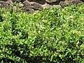 Starr-090707-2340-Lonicera japonica-flowers and leaves-Waikapu Golf Course-Maui (24338338714).jpg