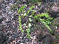 Starr-091104-0703-Colubrina asiatica-fruiting habit-Kahanu Gardens NTBG Kaeleku Hana-Maui (24893974131).jpg