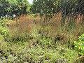 Starr-091104-8883-Andropogon virginicus-habit-Kahanu Gardens NTBG Kaeleku Hana-Maui (24988251115).jpg
