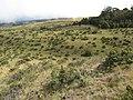 Starr-110705-6551-Erica lusitanica-habitat-Waiale Gulch-Maui (24730247279).jpg