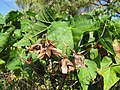 Starr-120301-3246-Dombeya x cayeuxii-seed capsules-Enchanting Floral Gardens of Kula-Maui (25136960335).jpg