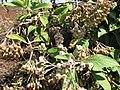 Starr-130320-3379-Pluchea carolinensis-flowers with Strymon bazochii smaller Lantana butterfly biocontrol-Nihoku Mokolea Pt Kilauea Pt NWR-Kauai (24582290963).jpg
