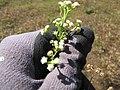 Starr-130320-3466-Parthenium hysterophorus-flowers-Mokolea Pt Kilauea Pt NWR-Kauai (24841548579).jpg