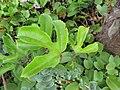 Starr-130617-5060-Passiflora edulis-leaves-Kealia Pond NWR-Maui (24581659154).jpg