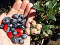 Starr-130818-0476-Vaccinium hybrid-Southern Highbush blueberries ripe and green with alpine strawberries-Hawea Pl Olinda-Maui (24964347060).jpg