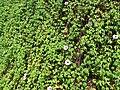 Starr-151029-2736-Ipomoea cairica-flowering habit on wall-Maui Nui Botanical Garden Kahului-Maui (26216228841).jpg