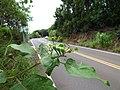 Starr-160919-0734-Solanum torvum-leaves immature fruit-Waihee-Maui (31241043385).jpg