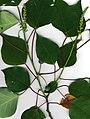 Starr 020404-9001 Homalanthus populifolius.jpg
