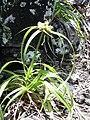 Starr 040423-0235 Cyperus phleoides.jpg