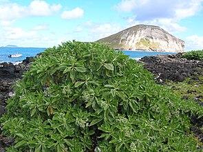 Samtblatt (Heliotropium foertherianum )