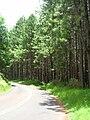 Starr 060604-8146 Pinus taeda.jpg