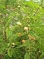 Starr 060721-9546 Leucaena leucocephala.jpg