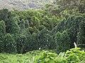 Starr 060810-8510 Thunbergia grandiflora.jpg