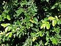 Starr 070111-3169 Ficus pumila.jpg