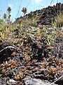 Starr 070320-5772 Kalanchoe tubiflora.jpg