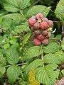 Starr 070621-7485 Rubus niveus f. a.jpg