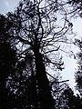Starr 070908-9356 Pinus sp..jpg