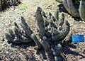 Stenocereus thurberi subsp. littoralis (Stenocereus littoralis) - Mildred E. Mathias Botanical Garden - University of California, Los Angeles - DSC02919.jpg