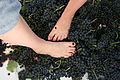 Stomping grapes with feet.jpg