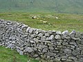 Stone wall and grazing cattle - geograph.org.uk - 963631.jpg