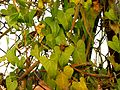 Stranglewort - Flickr - treegrow.jpg