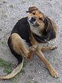 Stray dog (11164511815).jpg