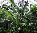 Strelitzia alba.jpg