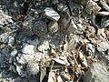 Strombocactus disciformis (5780702818).jpg