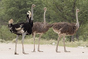 Common ostrich - South African ostrich male (left) and females (S. camelus australis)