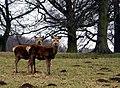 Studley Deer - geograph.org.uk - 137730.jpg