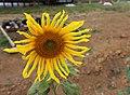 Sunflower in a park.jpg