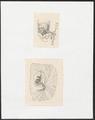 Sus scrofa domestica - 1700-1880 - Print - Iconographia Zoologica - Special Collections University of Amsterdam - UBA01 IZ21900169.tif