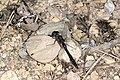Svart høstlibelle (Sympetrum danae) (5001316063).jpg