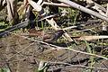 Swamp Sparrow (26101650070).jpg