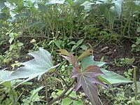 Sweet Potato Plant.jpg