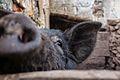Swine (15695909550).jpg