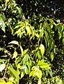 Syzygium zeylanicum 20.JPG