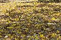 Tabebuia aurea 6.jpg