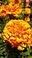 Tagetes-Marigold-Flower 03.jpg