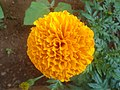 Tagetes erecta Marigold flower at Madhurawada 01.JPG