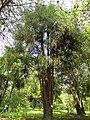 Taiwania flousiana - Kunming Botanical Garden - DSC02763.JPG